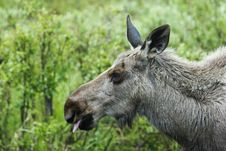 Free Sticking Tonque Out - Moose Stock Image - 906551