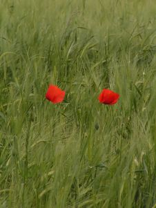 Free Poppies In A Field Royalty Free Stock Images - 906899