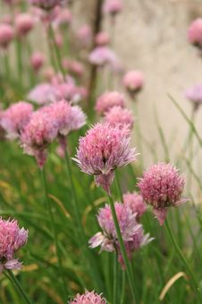 Free Blooming Chive Stock Image - 907301