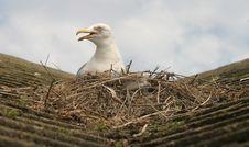 Seagull & Nest Stock Photography