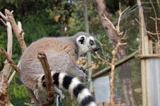 Free The Lemur Stock Photo - 908350