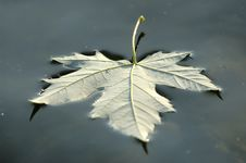 Free Floating Leaf_2 Stock Photography - 908472