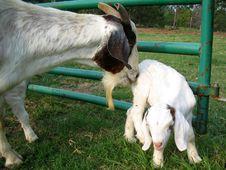 Free Goats Stock Photos - 908583