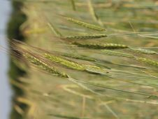 Free Wheat Grass Stock Images - 909974