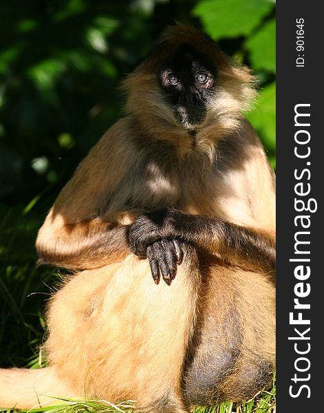 Monkey eyes in shade