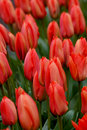 Free Orange Bunch Of Tulips Stock Photos - 9007203