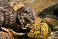 Free Oriental Small-clawed Otter Royalty Free Stock Photo - 9007315