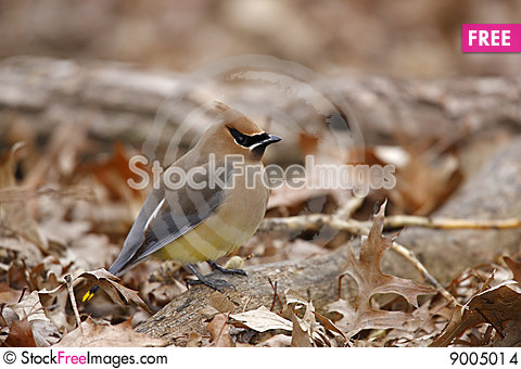 Cedar Waxwing (Bombycilla cedorum cedorum) Stock Photo