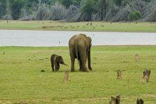 Free Indian Elephants Stock Photography - 9000072