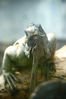 Free Iguana Stock Image - 9000201