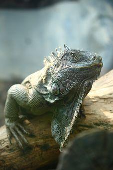 Free Iguana Stock Image - 9000221