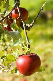 Free Apples Royalty Free Stock Image - 9000306
