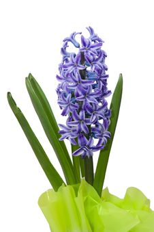 Free Hyacinth Flower In Green Casing-paper Stock Photo - 9000410