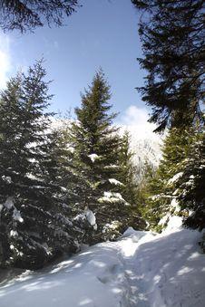 Trail Through Pine-trees Royalty Free Stock Photo