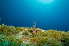 Free Lionfish And Seagrass Stock Photo - 9000710