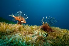 Free Lionfish And Seagrass Royalty Free Stock Images - 9000749