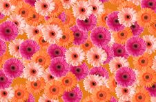 Free Gerberas Royalty Free Stock Images - 9001699
