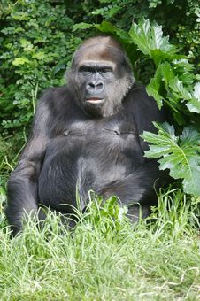 Free Western Lowland Gorillas Royalty Free Stock Images - 9003789