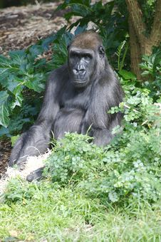 Free Western Lowland Gorillas Royalty Free Stock Images - 9003819