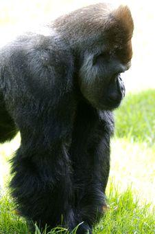 Free Western Lowland Gorillas Royalty Free Stock Photography - 9004017