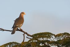 Free Bare-eyed Pigeon (Patagioenas Corensis) Stock Photography - 9004952