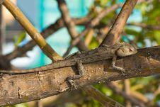 Lizard On The Tree Stock Image