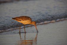Free Marbled Godwit (Limosa Fedoa Beringiae) Stock Photos - 9005053