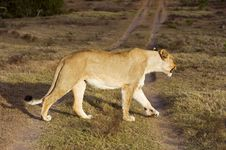 Free Angry Lioness Stock Photography - 9005542