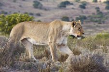 Lioness On The Hill Royalty Free Stock Photos
