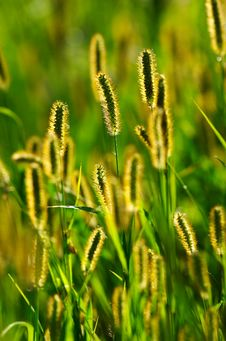 Free Backlit Blooming Grass Stock Photos - 9006133