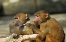Free Hamadryas Baboons Royalty Free Stock Image - 9006836