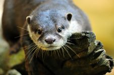 Free Oriental Small-clawed Otter Royalty Free Stock Photography - 9007257