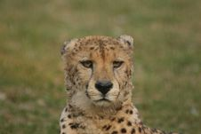 Free Cheetah Stock Images - 9008974