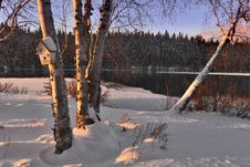 Free Birches In Snow Royalty Free Stock Images - 90036099