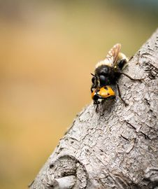 Free Insect, Bee, Membrane Winged Insect, Invertebrate Stock Photography - 90081842