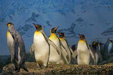 Free King Penguins Stock Photos - 90097483