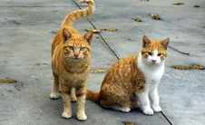 Free Ginger Cats Royalty Free Stock Photography - 90097697