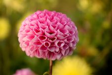 Free Pink Dahlia Stock Photos - 90098643