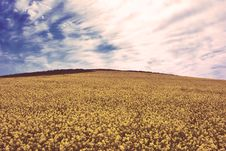 Free Rapeseed Flowers Stock Images - 90098704