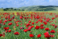 Free Poppies  Field Royalty Free Stock Images - 9017459