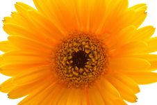 Free Close-up Orange Daisy Flower Isolated On White Stock Photo - 9010240