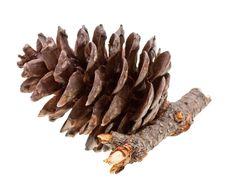 Free Pine Strobile Isolated On White Stock Photo - 9010360