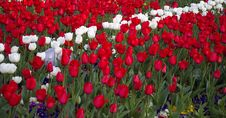 Free Red And White Tulips Stock Photography - 9012002