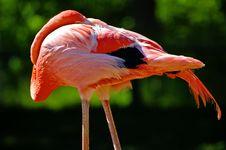 Free Red Flamingo Royalty Free Stock Photo - 9012415
