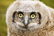 Free Great Horned Owl Stock Photography - 9013362