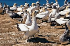 Gannet 06 Royalty Free Stock Photo