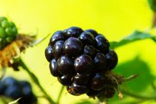 Free Blackberries Royalty Free Stock Images - 9014509