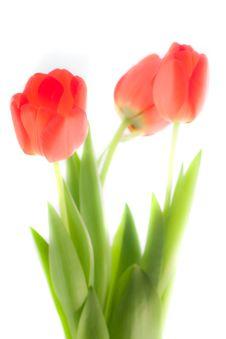 Free Three Isolated Tulips Royalty Free Stock Image - 9015016