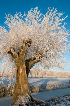 Free Willow Tree In Hoarfrost Stock Photo - 9016500
