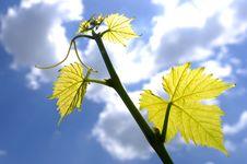 Free Vine Branch Stock Image - 9017321